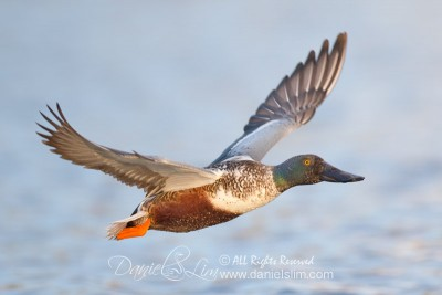 northern shoveler in flight soft light