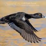 Ring necked Duck in flight