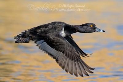 Ring necked Duck in flight