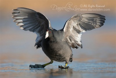 amercian coot on ice