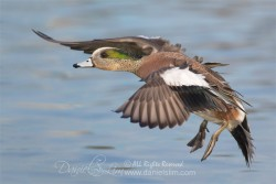 american wigeon in flight drake male