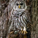 camouflaged barred owl