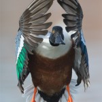 drake northern shoveler head on