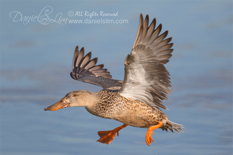 female northen shoveler in flight