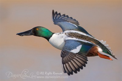 northen shoveler in flight