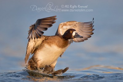 lesser female scaup surfing