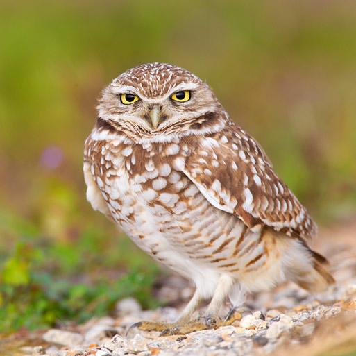 Burrowing Owl SE Dallas