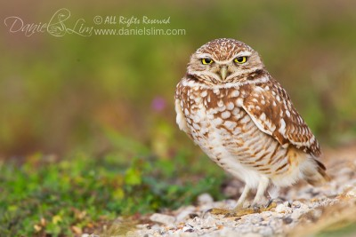 Burrowing Owl SE Dallas