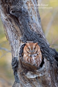 Red Morph Screech Owl in natural nest cavity