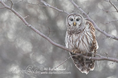 barred owl hagerman