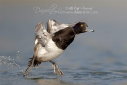 lesser scaup-make landing tiptoe