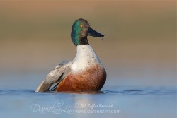 drake northern shoveler low level