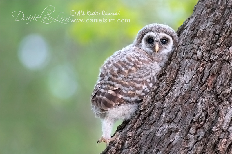 white rock lake sunset bay barred-owlet branching