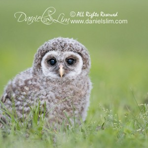 Fledgling Barred Owlet on the ground – White Rock Lake