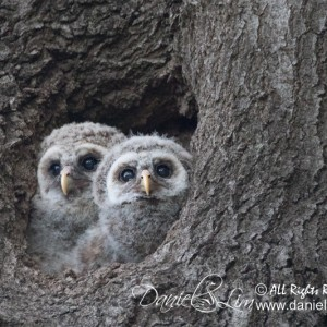 Pair of Barred Owlets – White Rock Late