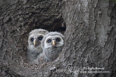 barred owlets white rock late