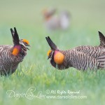 greater prairie chickens face off, Konza Prairie - Manhattan, Kansas
