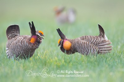 greater prairie chickens face off, Konza Prairie - Manhattan, Kansas