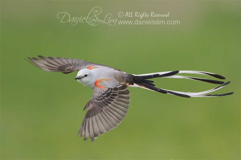 scissor tailed flycatcher_in-flight white rock lake