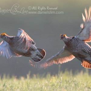 Greater Prairie Chicken – The Chase, in Flight and Backlight