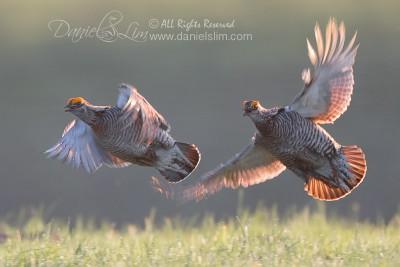 greater prairie chicken chase flight